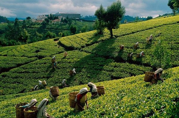 Китайский чай_1